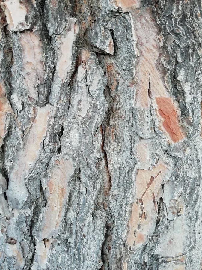 杉树吠声纹理 免版税库存图片