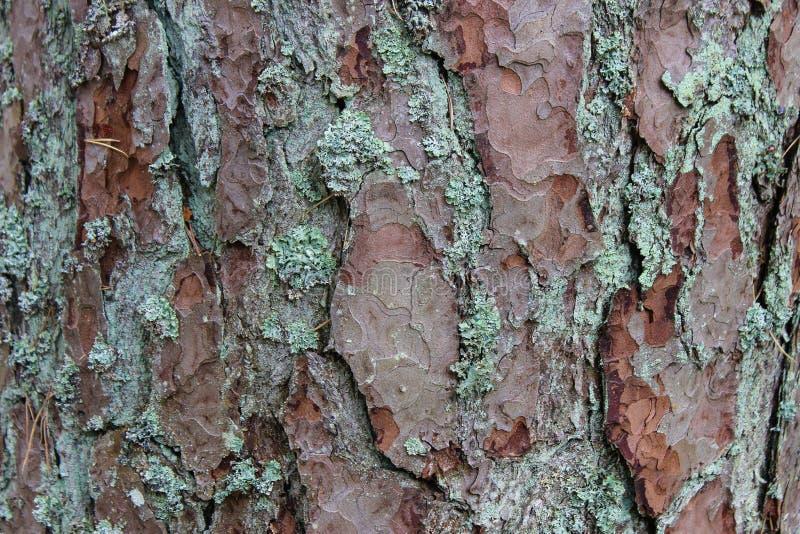 杉树吠声 免版税库存图片
