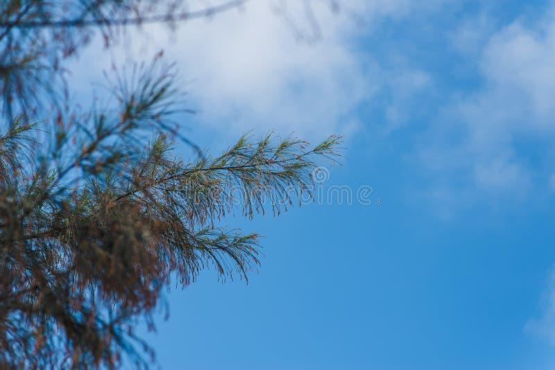 杉树和明白蓝天背景在绿色杉木tre上 库存照片