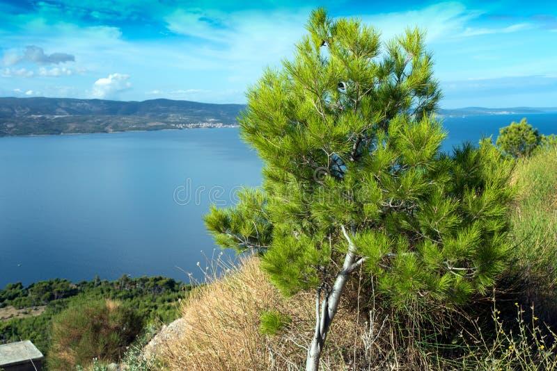 杉树和Brac海岛  库存图片