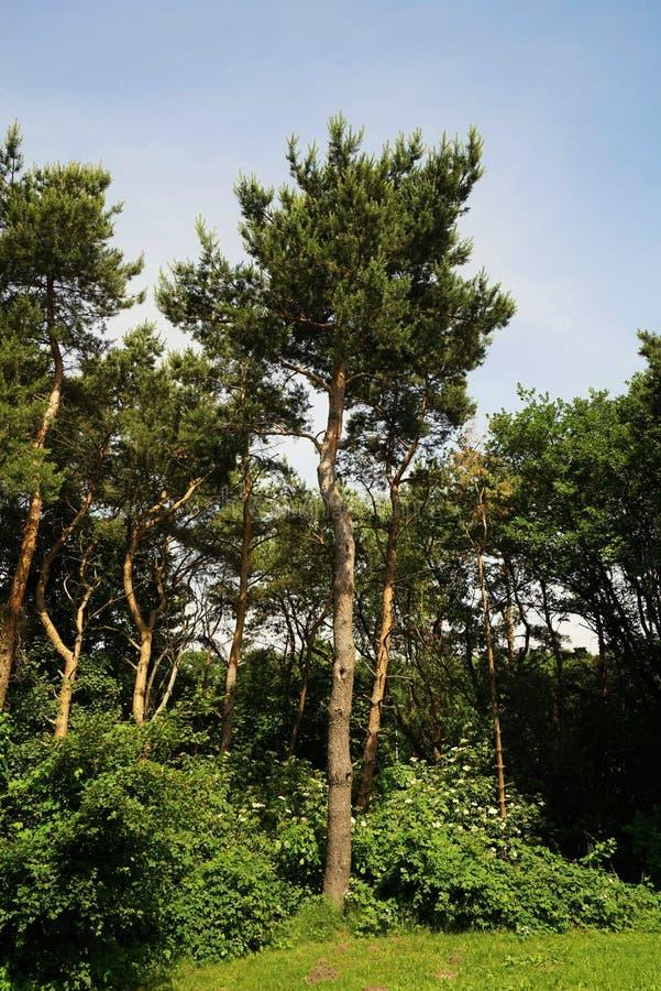 杉树在夏天 图库摄影