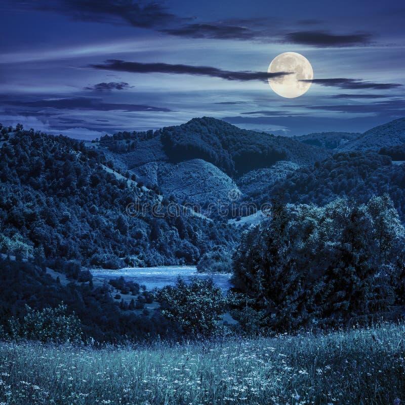 杉树在晚上临近山的草甸 图库摄影