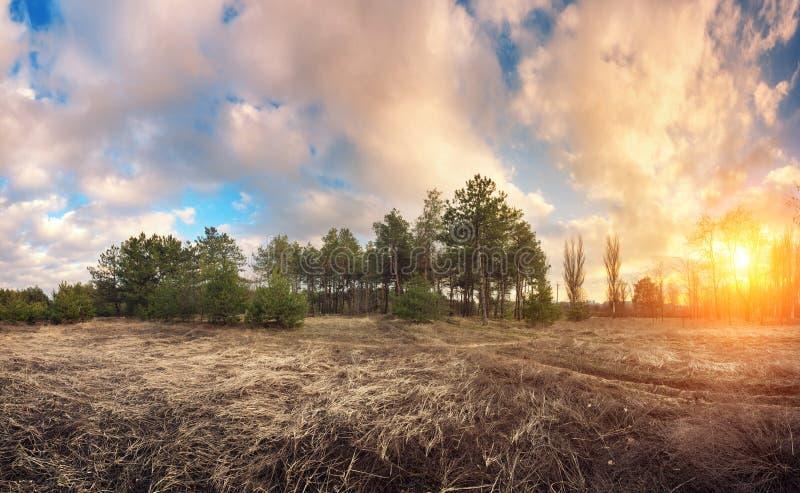 杉树在有蓝天和美丽的云彩的春天在日落 库存图片
