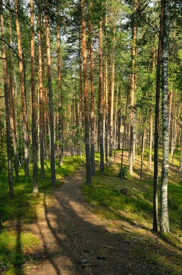 杉树在森林里 库存图片