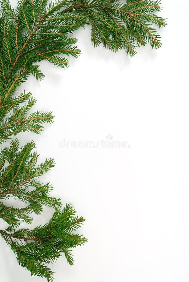 杉树枝杈 免版税库存照片