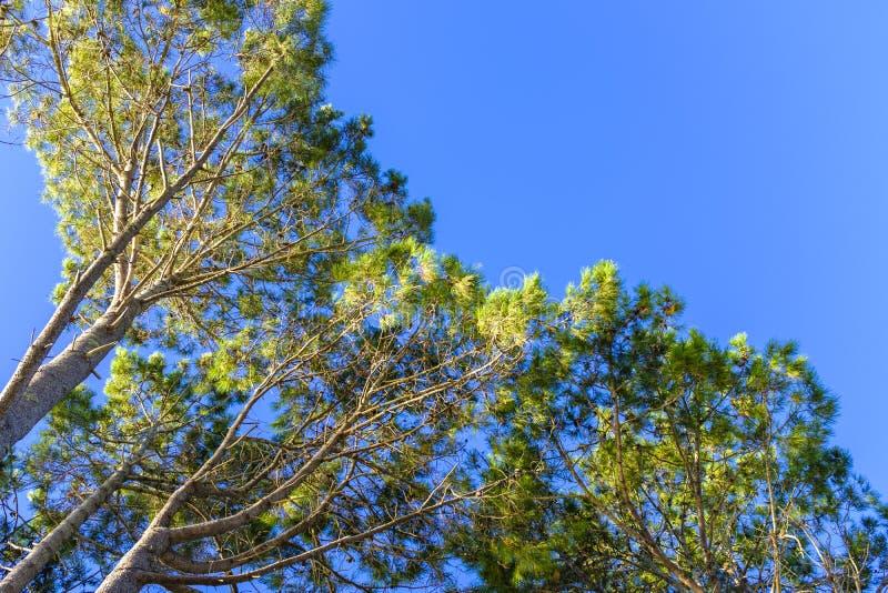 杉树树丛在一个晴天 库存照片