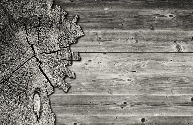 杉树树干的黑白破裂的横断面 图库摄影