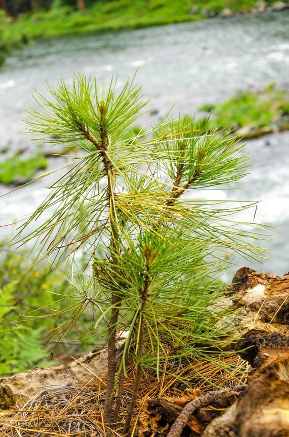 杉树树苗 库存图片