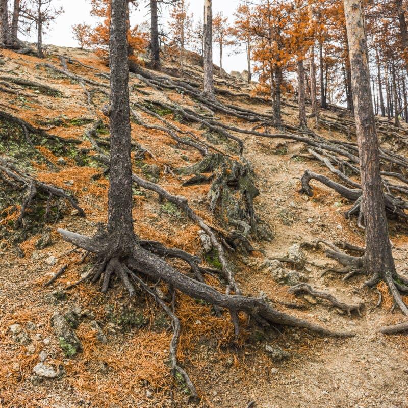 杉树根在一个陡峭的山坡的 免版税图库摄影