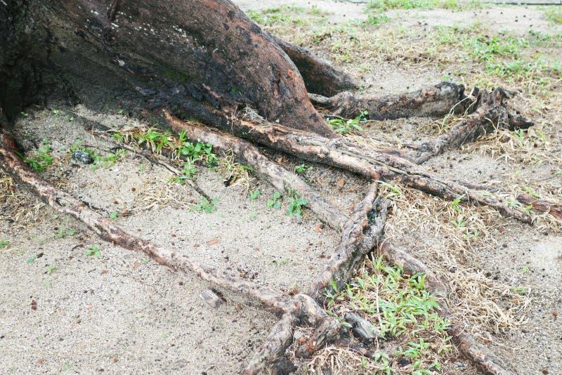 杉树根在沙子的靠岸 免版税库存照片