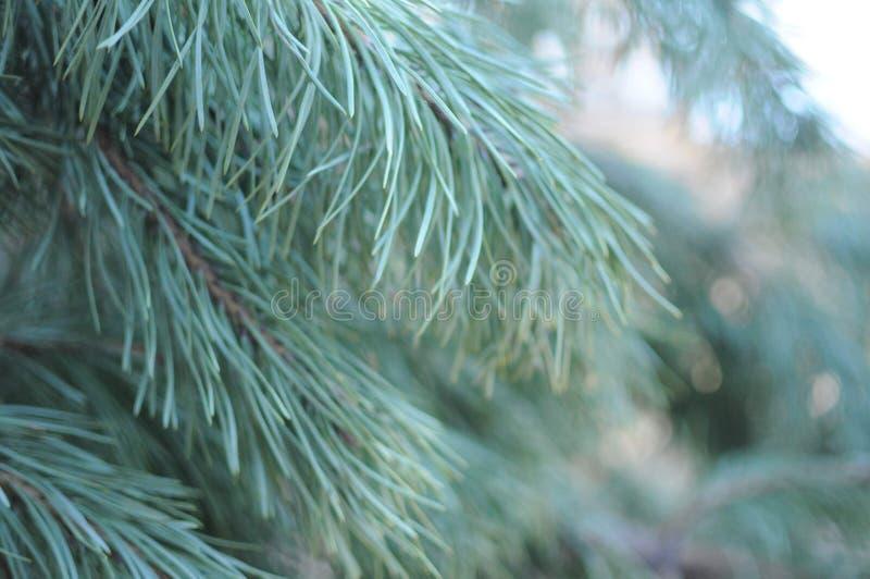杉树的分支 r 免版税库存图片