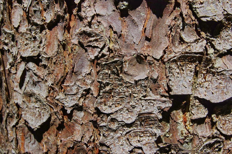 杉树纹理2 库存照片