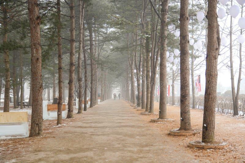 杉树行在冬天娜米海岛 免版税库存图片