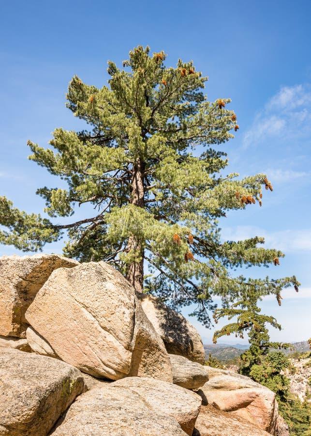 杉树,克勒高峰火监视地区,世界风景小路的外缘,加州 免版税库存照片