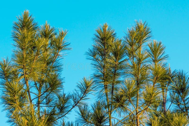 杉树-储蓄图象 图库摄影