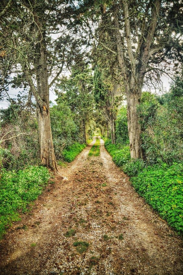 杉树围拢的土路 库存图片