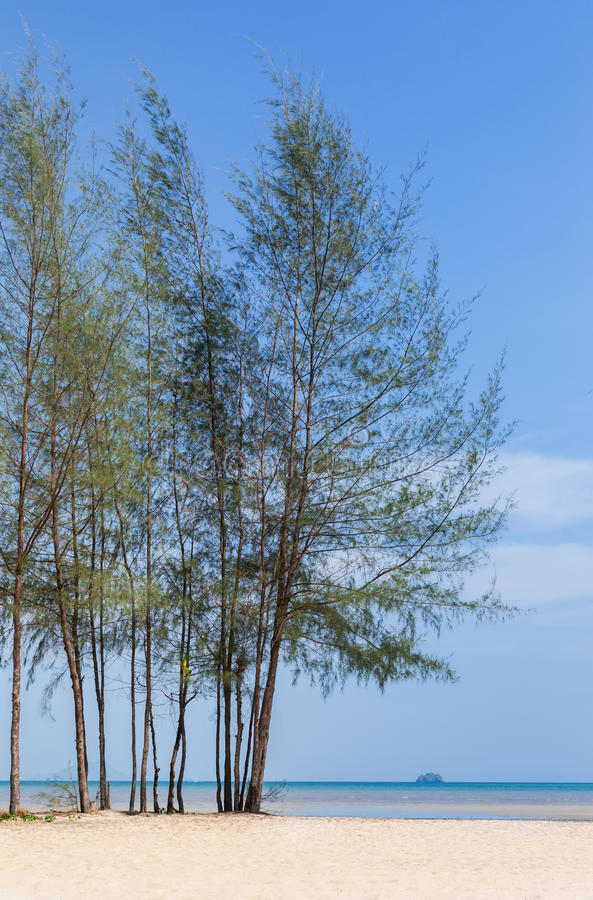 杉树(木麻黄属的各种常绿乔木equisetifolia)在海滩 库存图片