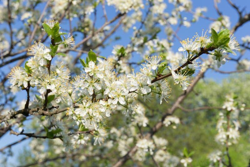 李子分支,特写镜头,与白花和年轻绿色叶子在春天庭院和天空蔚蓝的背景 库存图片