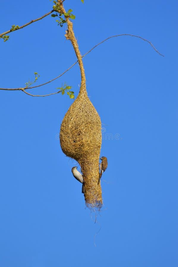 李子带头的长尾小鹦鹉,一棵树的Psittacula cyanocephalaon分支在Sagareshwar野生生物保护区,桑格利,马哈拉施特拉的 图库摄影