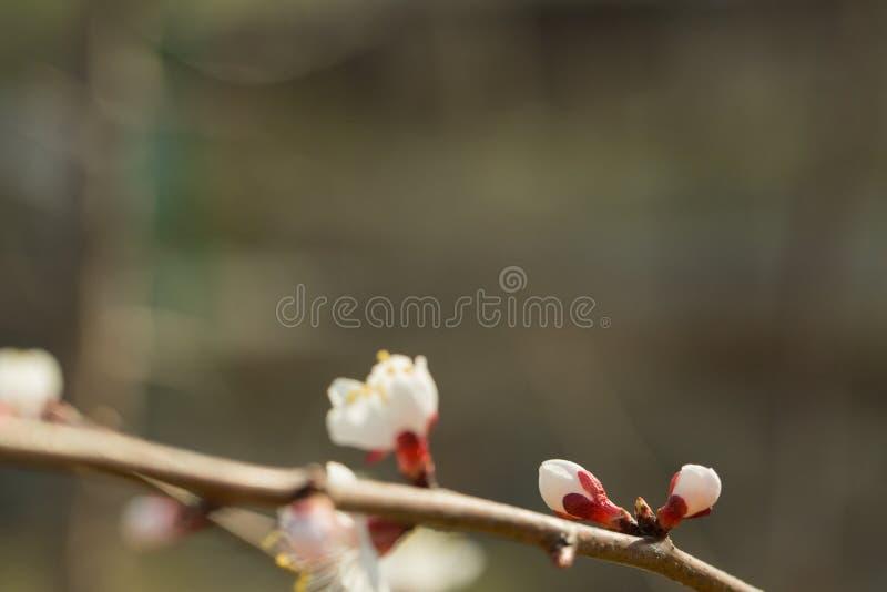 李子开花在一个分支美妙地开花有被弄脏的背景 免版税库存图片
