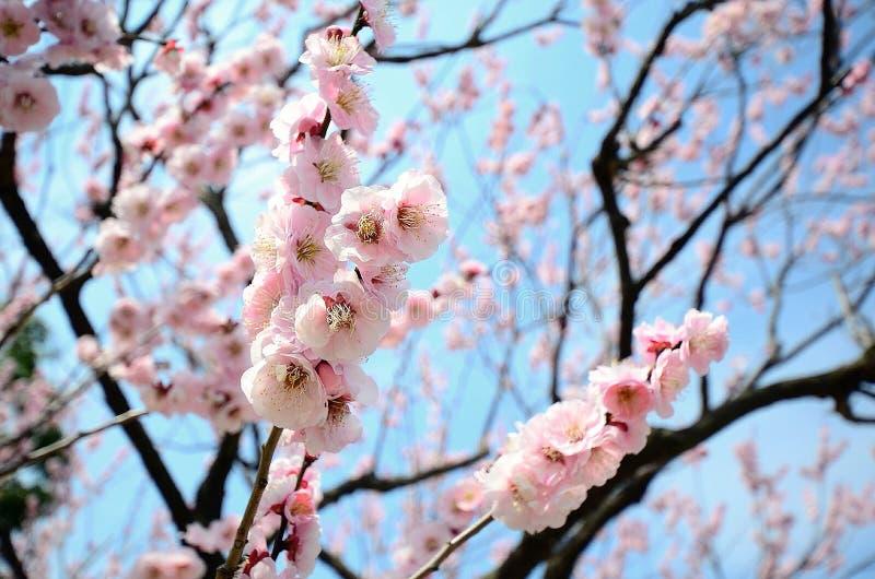 李子春天开花的树 免版税库存图片
