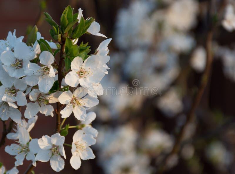 李子李属domestica在树开花在黎明 免版税库存图片