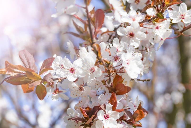 李属cerasifera白色红色花  与与樱桃李子花的进展的分支  开花的结构树 免版税图库摄影