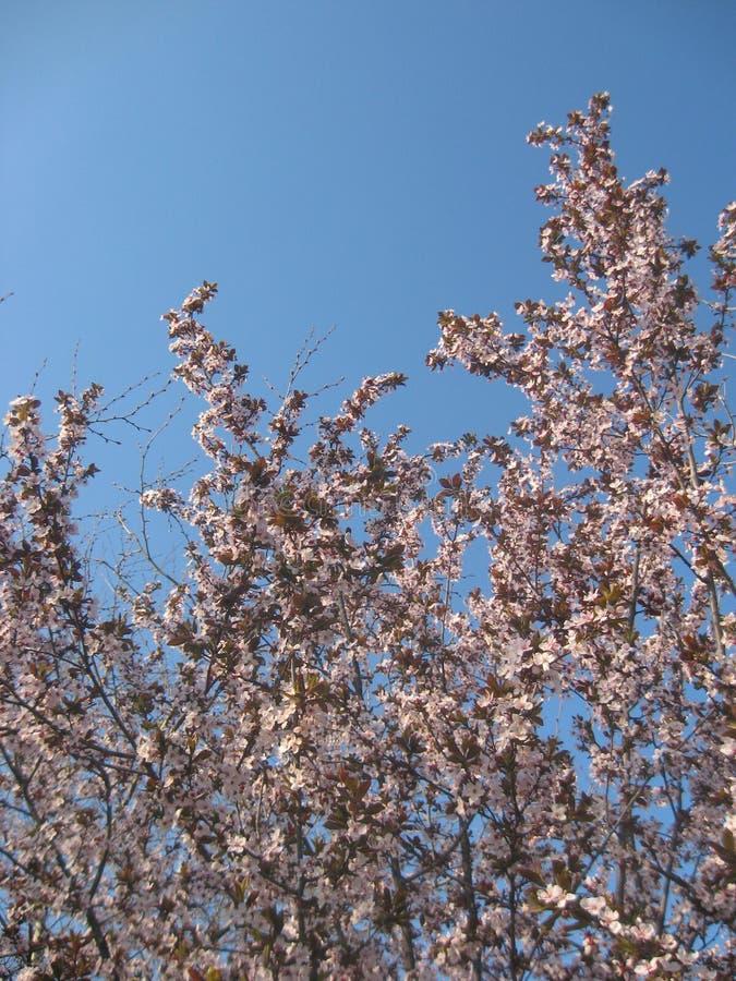 李属Cerasifera,黑樱桃李子花在有树枝细节的早期的春天开花在多云春天天气 免版税库存照片