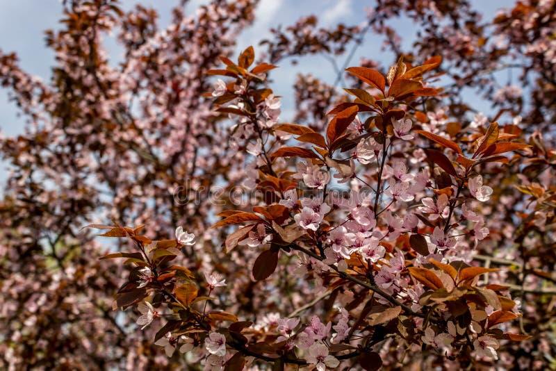 李属cerasifera Pissardii 美好的花李子背景 背景比标准少一击而入洞bloosom夫妇美妙的花卉春天结构树 在绽放的洋李在温暖的春天和 免版税图库摄影