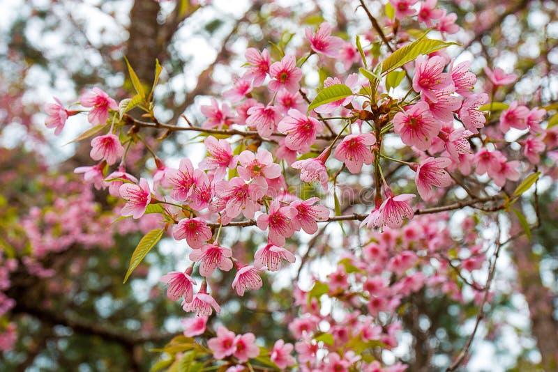 李属cerasoides或野生喜马拉雅樱桃 图库摄影