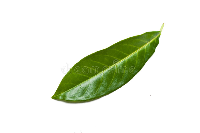 李属laurocerasus rotundifolia被隔绝的叶子  库存照片