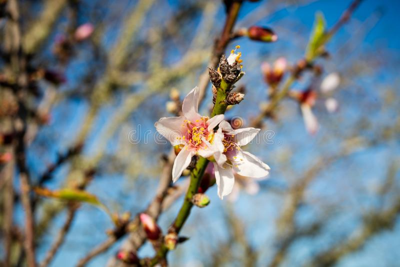 杏仁开花在拉各斯,葡萄牙 免版税图库摄影