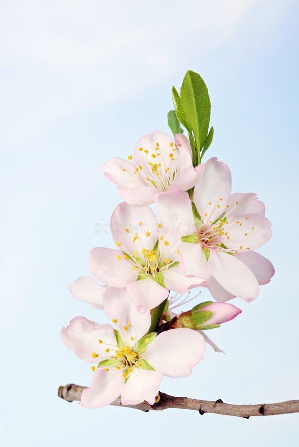 杏仁束开花结构树 图库摄影