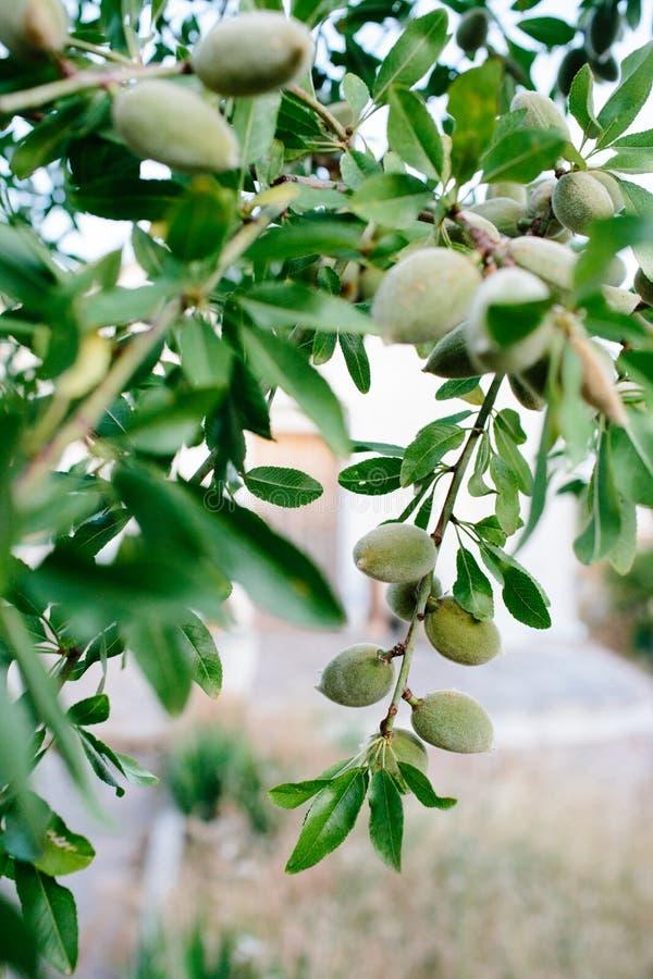 杏仁树中的杏仁 库存照片
