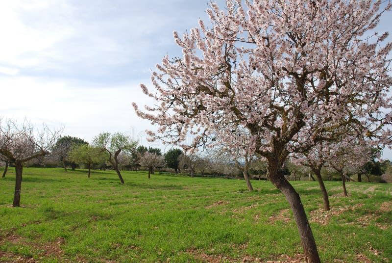 杏仁用花装饰的春天结构树 图库摄影