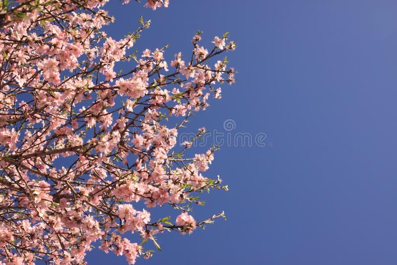 杏仁花开花的树 图库摄影