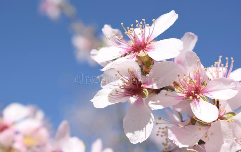 杏仁花背景软的焦点  蓝蓝 的选择聚焦 图库摄影