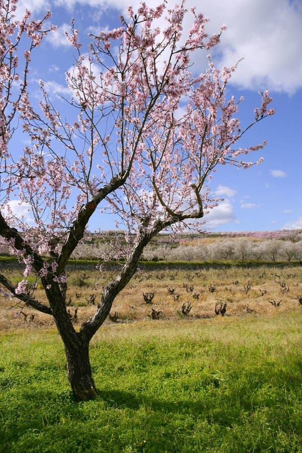杏仁领域花开花空白桃红色的结构树 图库摄影