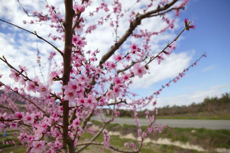 杏仁领域花开花空白桃红色的结构树 免版税库存照片