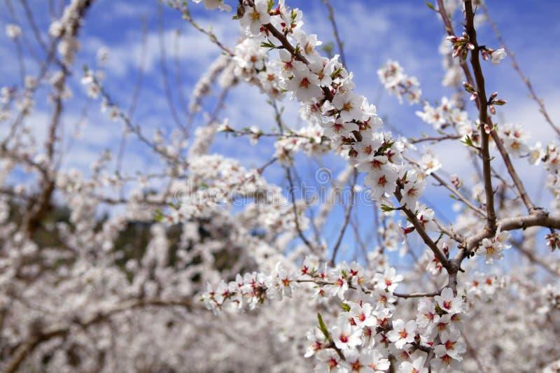 杏仁领域花开花空白桃红色的结构树 免版税库存图片