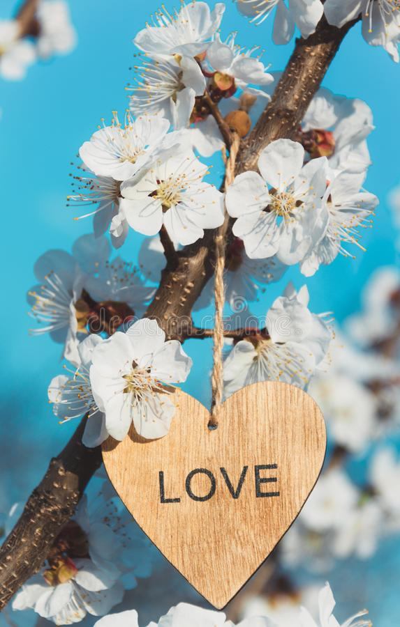 杏子分支与花的 杏子花和心脏 免版税库存图片