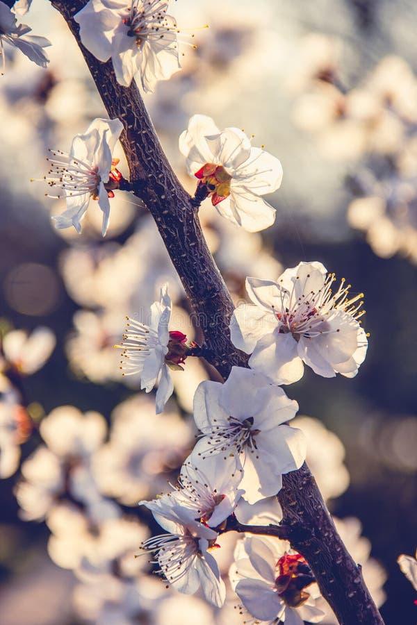杏子分支与花的 白花杏子春天 库存照片