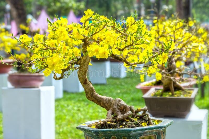 杏子在春天绽放的盆景树 库存图片