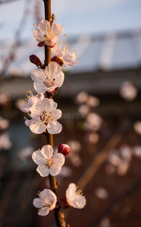 杏子开花绽放和芽在年轻李属armeniaca树的黎明 免版税库存照片