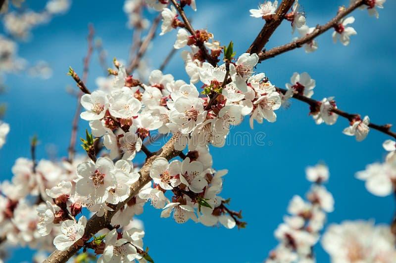 杏子背景开花的天空 免版税库存照片