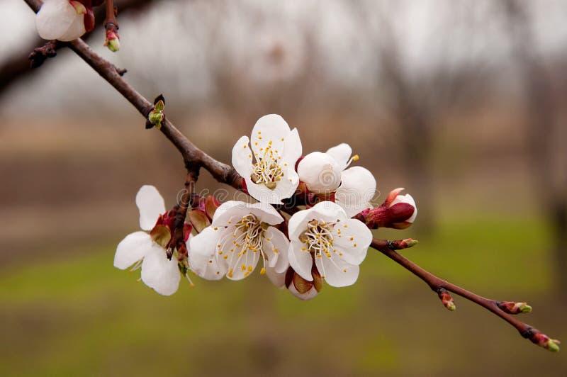 杏子背景开花的天空 图库摄影