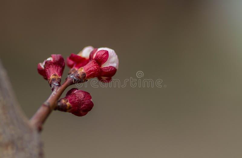 杏子花也许反弹庭院 库存图片
