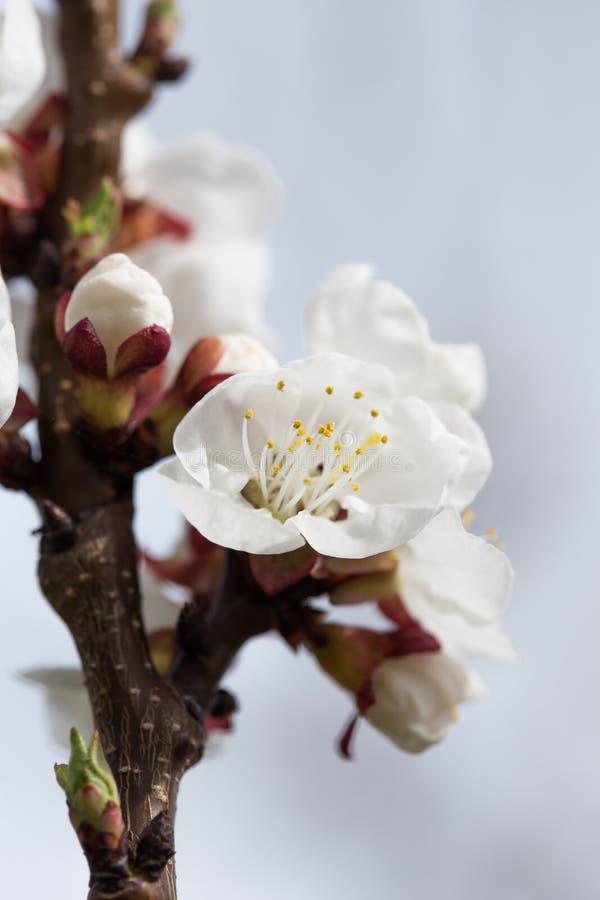 杏子花 开花的杏子春天庭院  杜娟花开花浅关闭dof的花出现 杏子开花分支特写镜头在分支的芽  免版税图库摄影