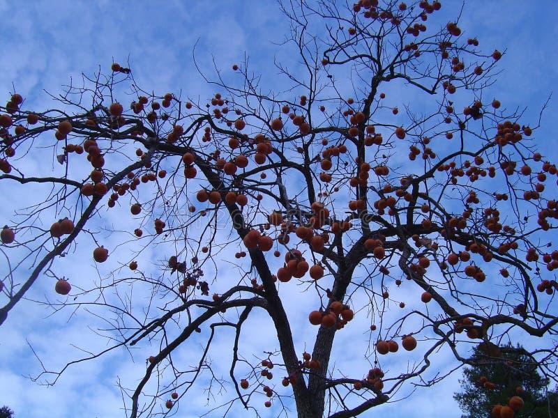 杏树没有叶子,但是用果子 免版税库存图片
