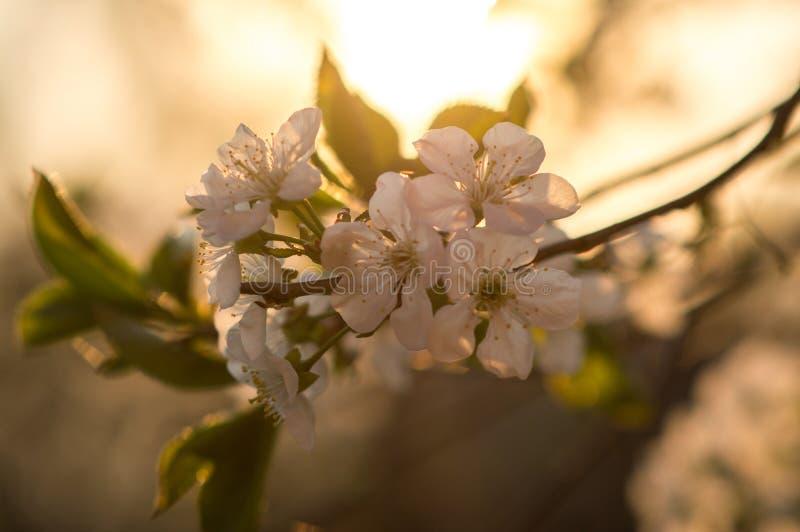 杏树绽放在春天 免版税库存图片
